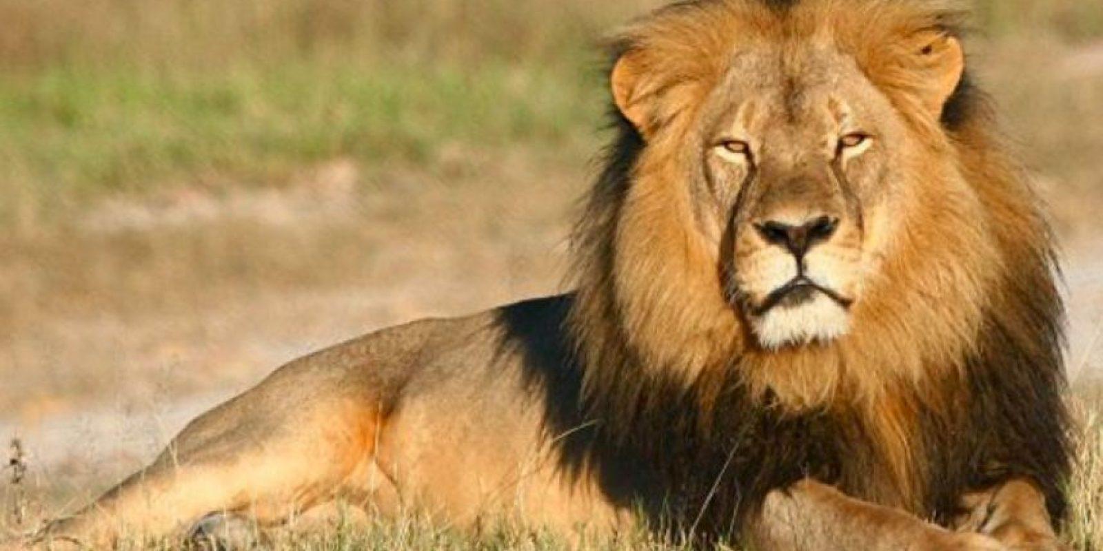 Los dos leones, macho y hembra, tuvieron que ser sacrificados. Foto:vía Getty Images