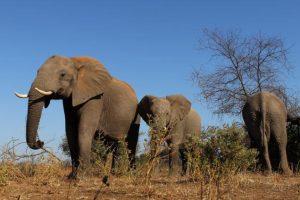 El elefante africano es el mamífero más grande terrestre. Foto:Getty Images