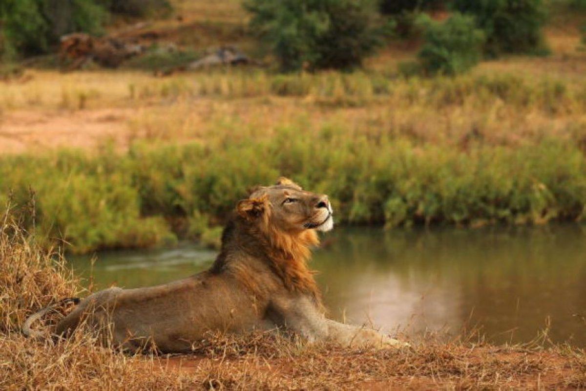 Los machos son muy fáciles de distinguir gracias a su melena. Foto:Getty Images