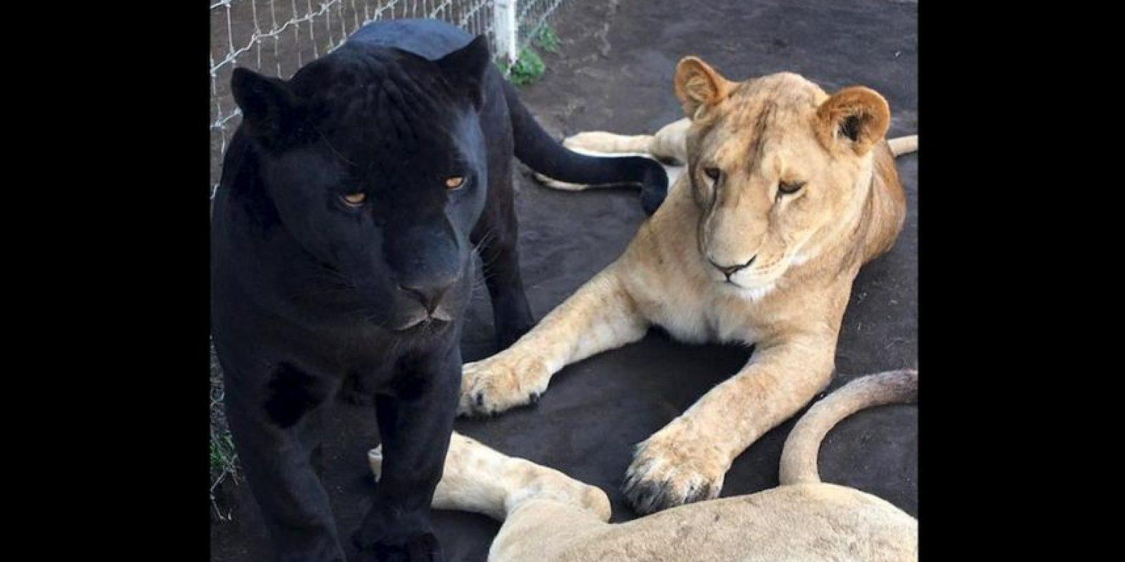 "Donde sus ""bebés"" conviven a pesar de pertenecer a distintas especies. Foto:Black Jaguar White Tiger Foundation"