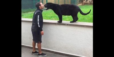Pero para comérselo a besos. Foto:Black Jaguar White Tiger Foundation