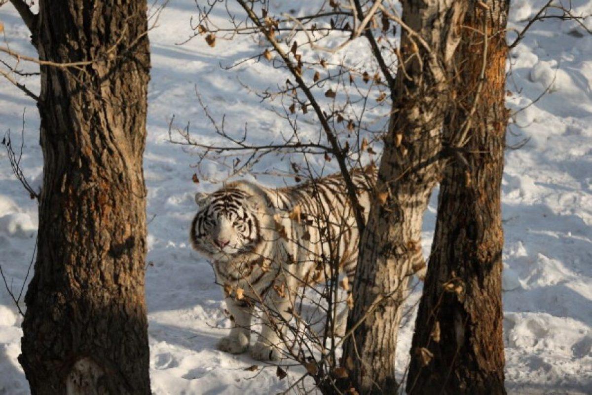 A diferencia de los tigres naranjas estos tienden a ser más grandes desde el nacimiento como en su tamaño de adulto. Foto:Getty Images