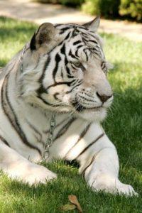 Los tigres blancos son ejemplares con una condición genética que elimina los pigmentos de su coloración normalmente anaranjada. Foto:Getty Images