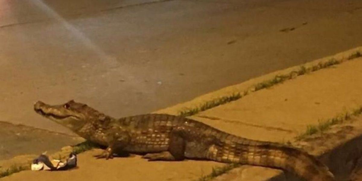 Babillas y caimanes sueltos en las calles de Barranquilla