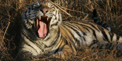 Además de tigres hay lobos, jirafas, leones, entre otras especies. Foto:Getty Images