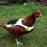 En alguna parte del mundo alguien puso a una gallina a eclosionar sus huevos. Foto:Twitter