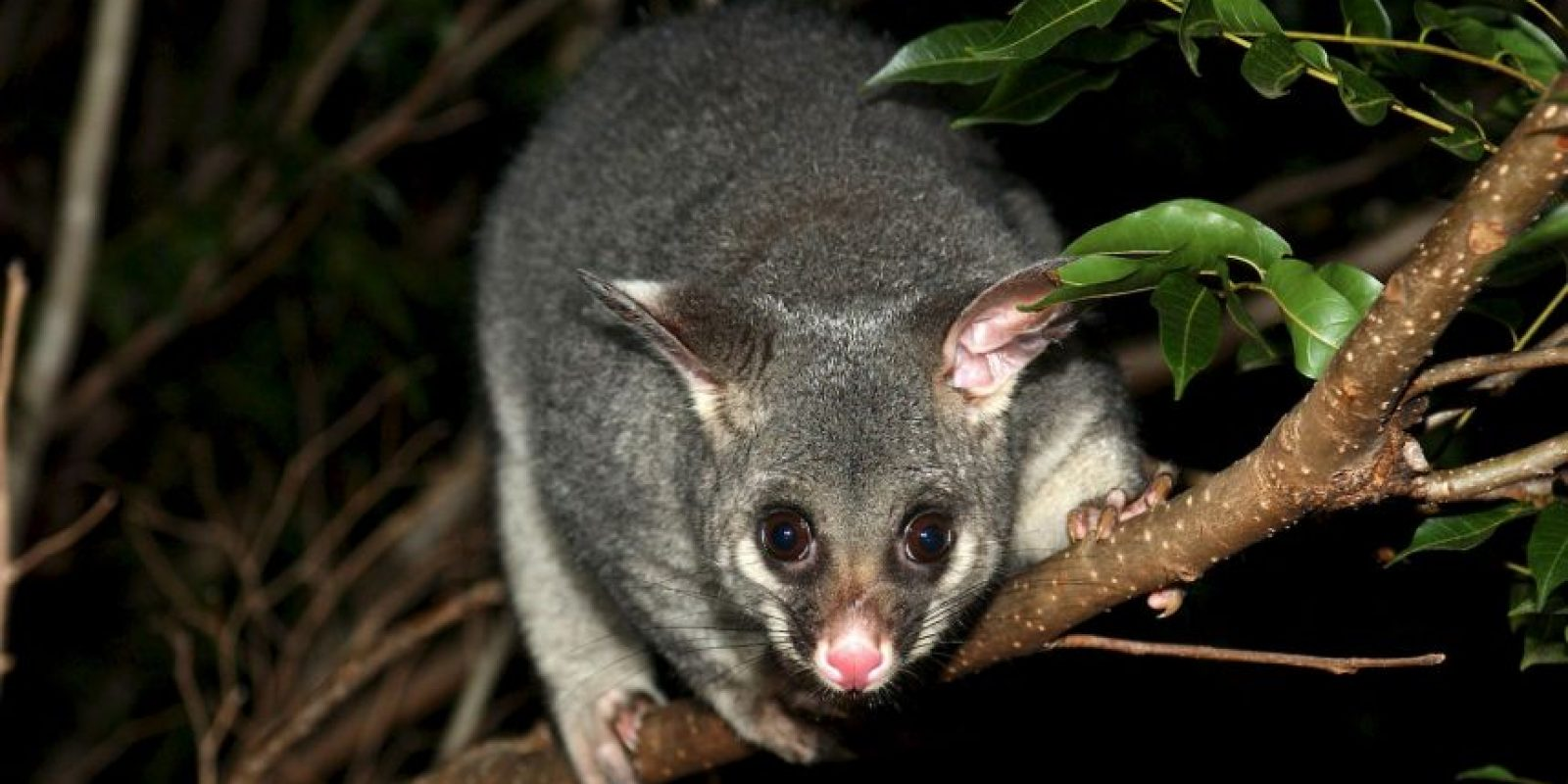 Están relacionados con las zarigüeyas Foto:Wikimedia