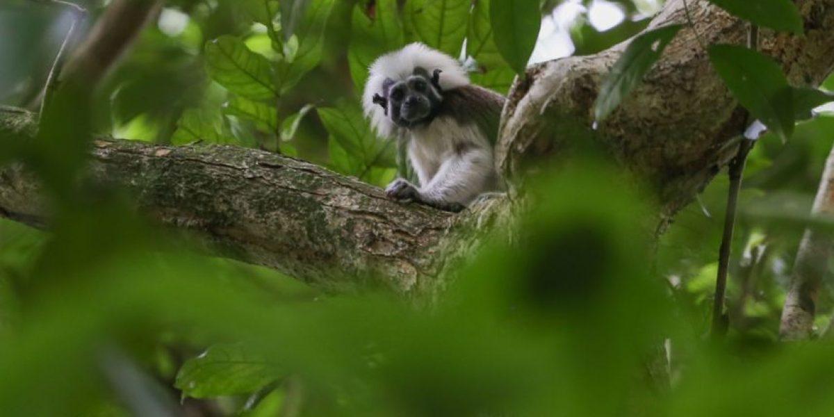 El tití cabeciblanco, un sobreviviente de los bosques del Caribe