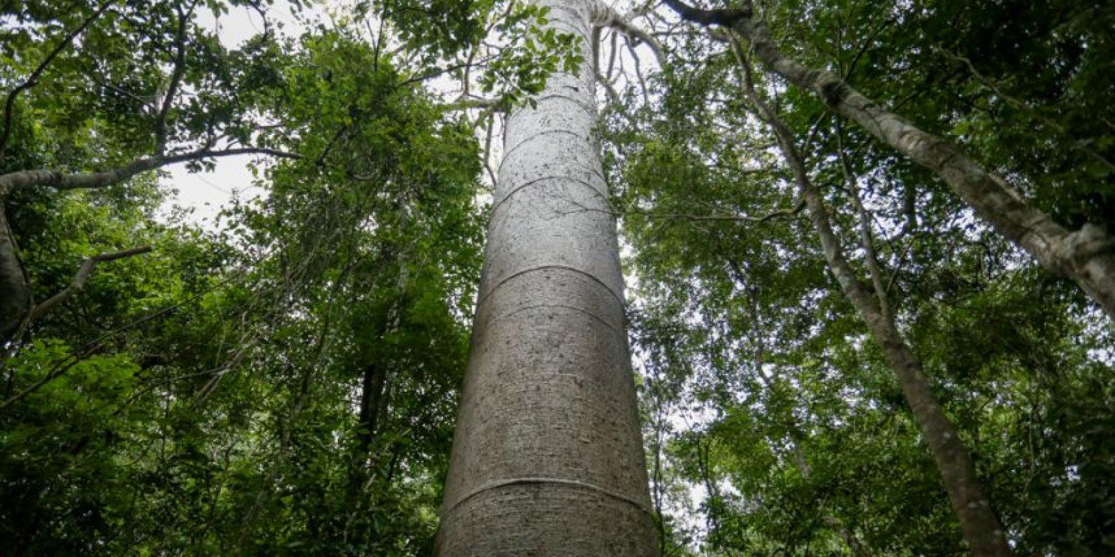 Árbol Macondo o árbol padre Foto:César Nigrinis Name