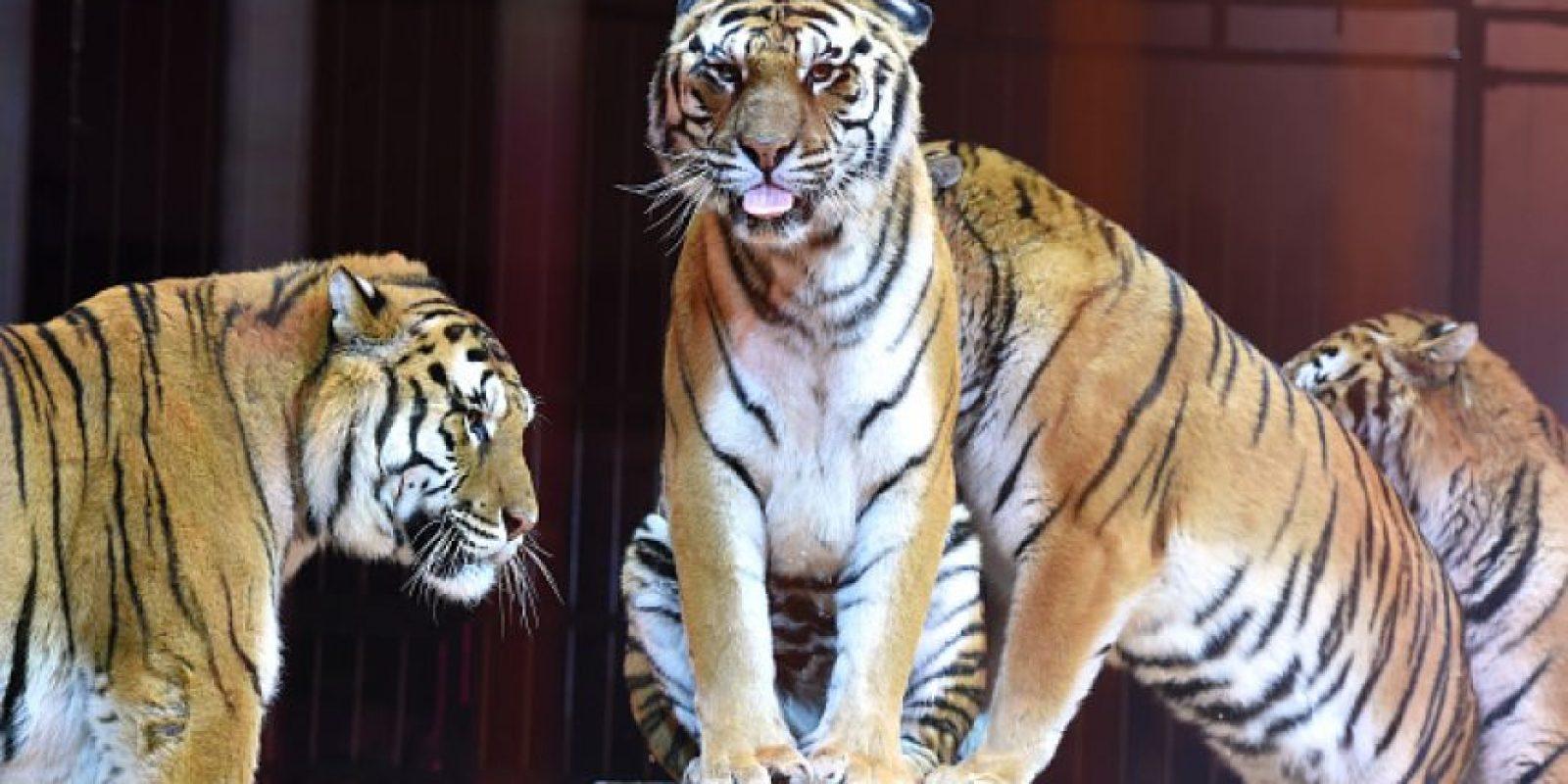 3. Está en peligro de extinción Foto:Getty Images