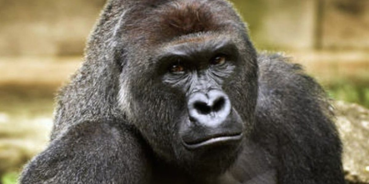 Cierran cuenta de Twitter de zoo de gorila Harambe por burlas de