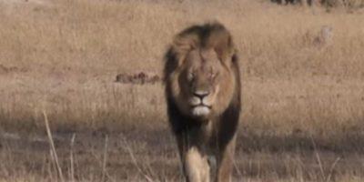 Cecil fue asesinado por Walter Palmer el año pasado. Foto:vía AFP