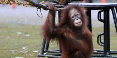 La mayor parte de su dieta se compone de fruta y hojas que recogen de los árboles de la selva. Foto:Getty Images