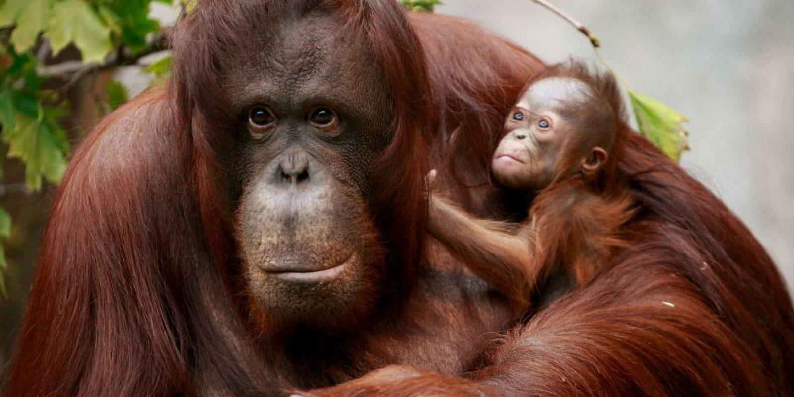 Los brazos del orangután son apropiados para su estilo de vida porque pasa la mayor parte del tiempo (alrededor del 90 por ciento) en los robles de su hogar Foto:Getty Images