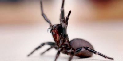 Hay aproximadamente 40.000 tipos de arañas en todo el mundo, sin embargo, los científicos estiman que hay muchas más que aún no han sido descubiertas. Foto:Getty Images
