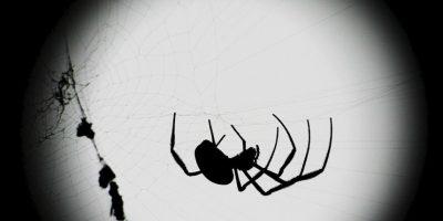 La mayoría de las arañas tienen entre 6 y 8 ojos. Foto:Getty Images