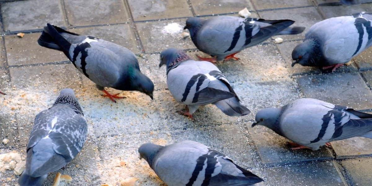 Así controlarán la sobrepoblación de palomas en Bogotá