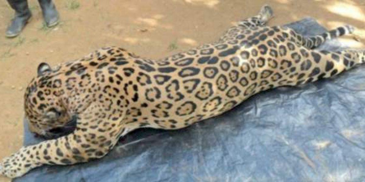 Indignación por caza de jaguar en vía de extinción en Córdoba