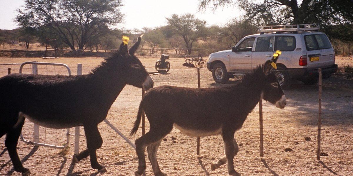 ¿Qué están haciendo con los burros asesinados en la Costa Caribe?