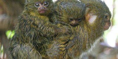 Roban cuatro monos titíes pigmeos de un zoológico colombiano