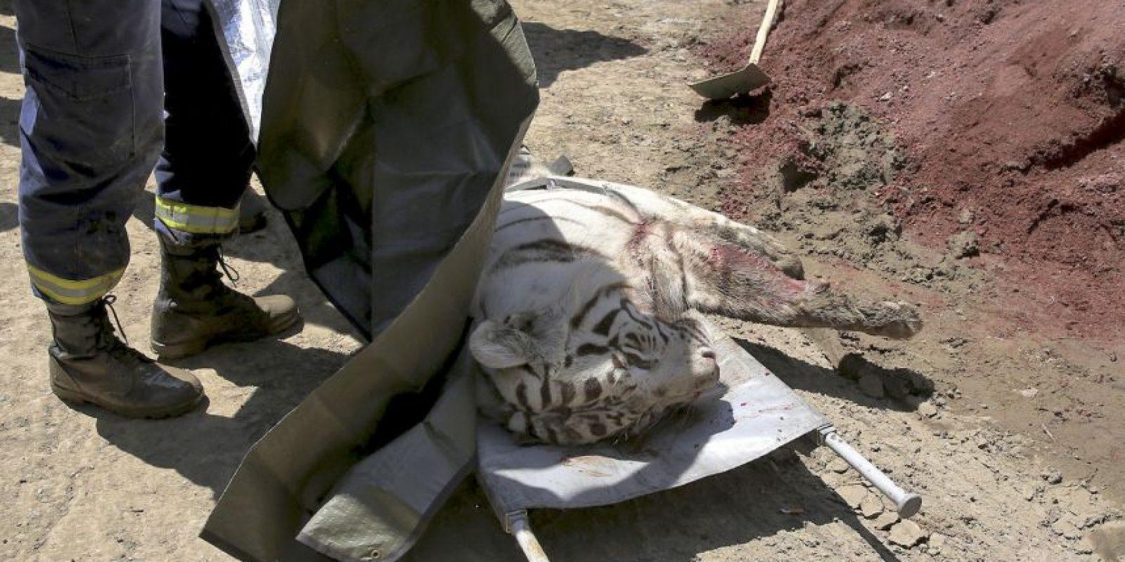 La Policía de Tbilisi, Georgia, mató a un tigre blanco que asesinó a un hombre. Foto:AP