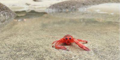 Fotos: Cangrejos invaden playas de California