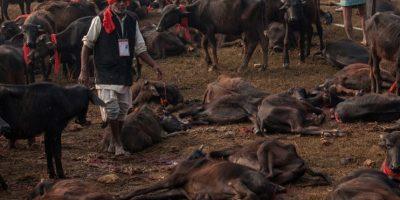 Por otro lado, los animales pequeños que aproximadamente fueron 100 mil, no se contabilizan para el sacrificio. Foto:Getty Images