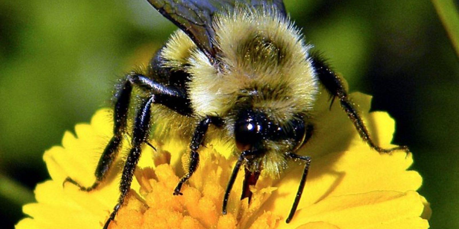 – Anteriormente pensábamos que nuestros cultivos eran polinizadas principalmente por las abejas de miel que ponemos junto a los cultivos mayormente polinizados por insectos, para así asegurar la polinización. Hemos encontrado que las abejas silvestres contribuyen en igual medida, incluso un poco más a la producción de cultivos que las abejas de miel. Foto:Pixabay