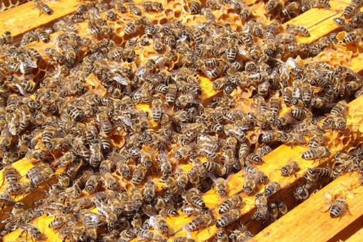 Al mismo tiempo, esto significa que las personas no se benefician económicamente de la mayoría de las especies de abejas. Foto:Wikimedia