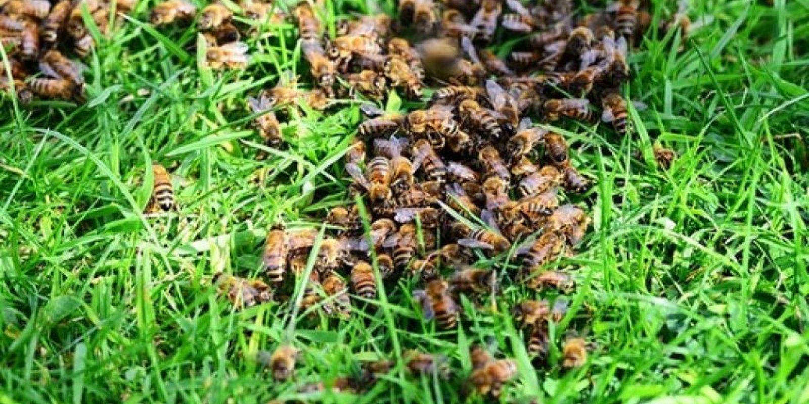 – Significa que no sólo debemos conservar las abejas por razones económicas, sino que también porque son criaturas espectacularmente bellas y fascinantes. A muchas personas les gustan estas especies y quieren conservarlas; quiero que mis nietos puedan verlas. Hacerlo es algo realmente correcto y hace que muchas personas se sientan bien. Foto:Wikimedia