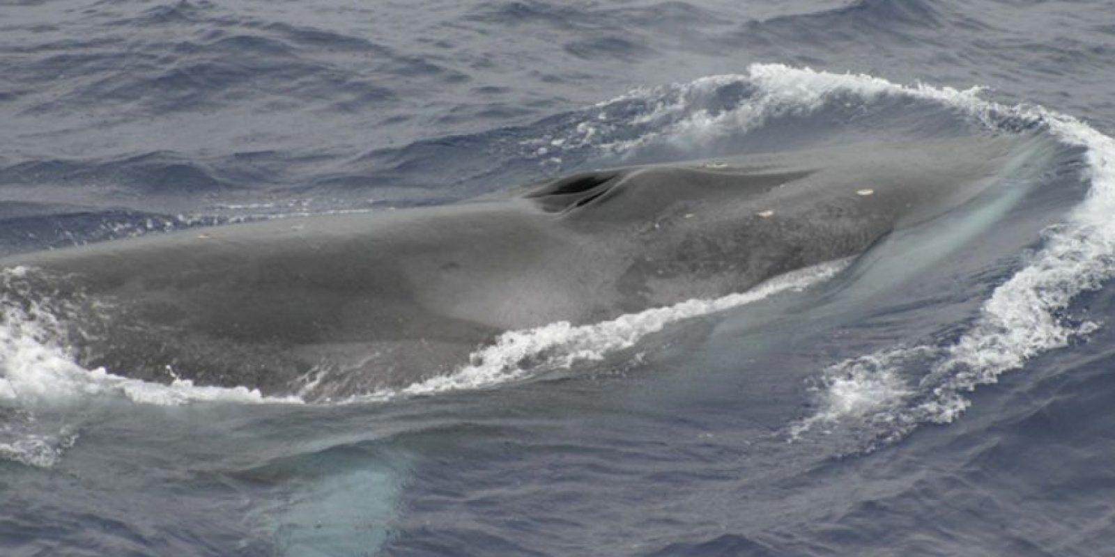 Encuentran 10 cadáveres de ballenas aleta en una isla de Alaska. Foto:Vía nmfs.noaa.gov
