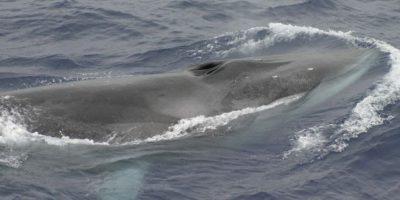 Científicos estudian la misteriosa muerte de 10 de las ballenas más grandes del mundo