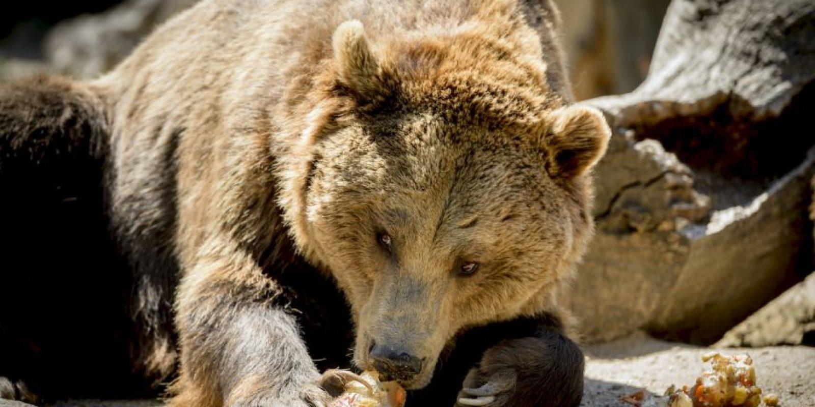 Las especies de gran tamaño luchan contra el calor que genera su gran pelaje. Foto:AFP