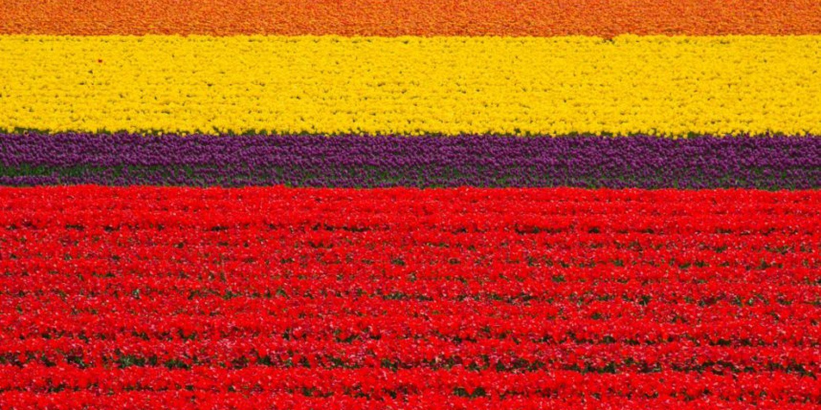Campo de Tulipanes en Holanda. Foto:vía Flickr.