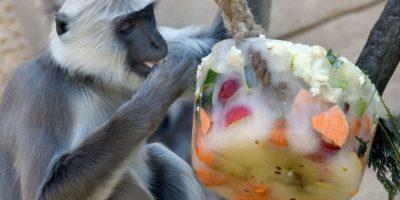 Un langur gris come de un trozo de verduras y frutas congeladas en el zoológico de Hannover, Alemania. Foto:AP