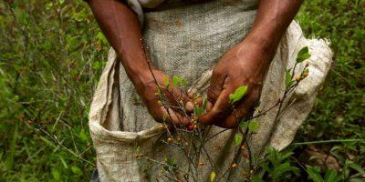 5. Las plantas de coca se cultivan en países como Bolivia, Colombia y Perú. Foto:Getty Images