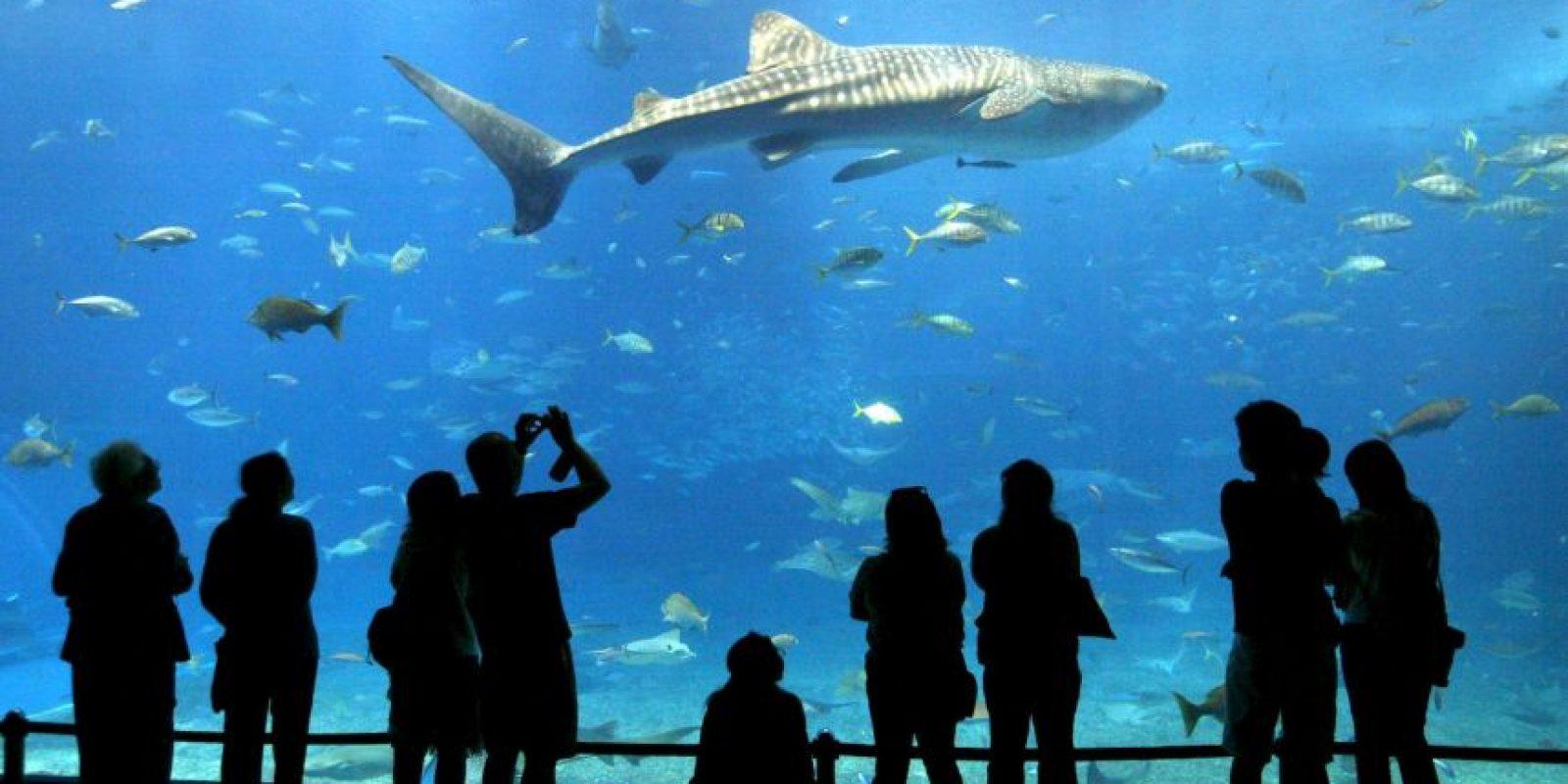 El equipo de Stanford comparó el registro de mordeduras de escualo contra datos de la actividad humana en el océano de California y calculó que, en 2013, la probabilidad de que un nadador fuera mordido por un tiburón blanco era de solo 1 en 728 millones. Foto:Getty Images