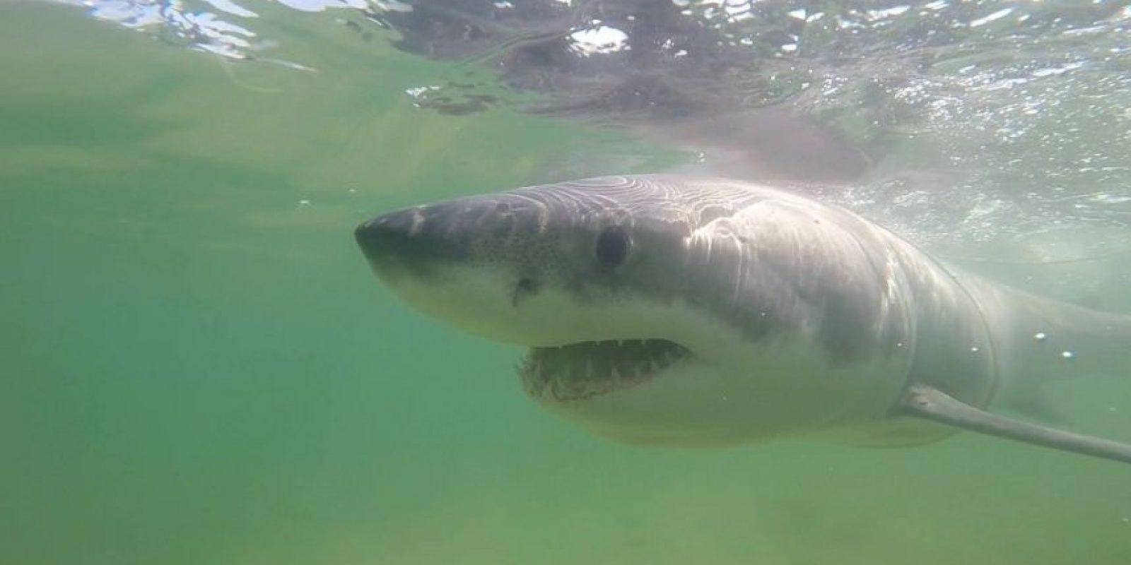 El tiburón llegó por accidente en la playa de Chatham. Foto:Vía facebook.com/atlanticwhiteshark