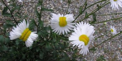 "Alerta por ""flores mutantes"" cerca de la planta nuclear de Fukushima"
