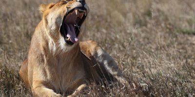 Cecil se encontró decapitado y sin piel. Foto:Getty Images