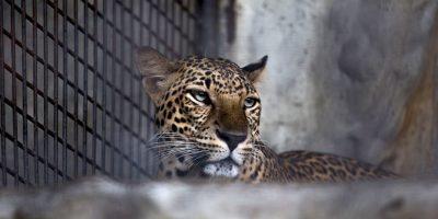 No se sabe si el animal salió con vida. Foto:Getty Images
