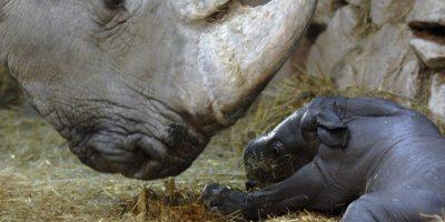 ¿Cómo cuidan a los rinocerontes blancos que aún quedan?