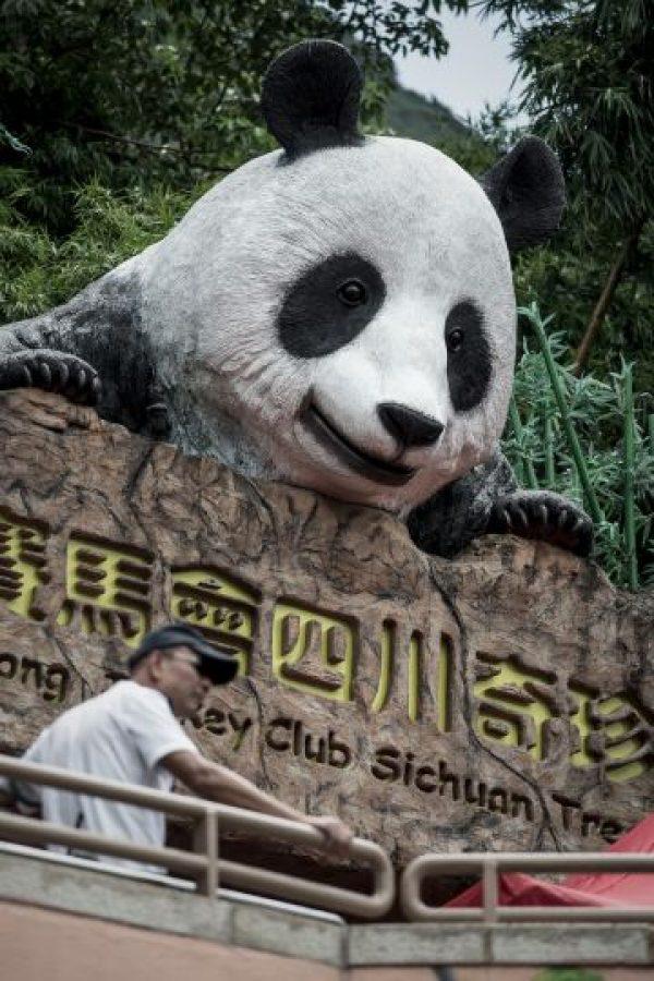 Los pandas tienen un promedió de vida de 25 años sin embargo Jia Jia los rebaso bastante. Foto:AFP