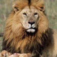 El odontólogo y cazador, Walter J. Palmer, fue quien mató a Cecil. Foto:Wikimedia
