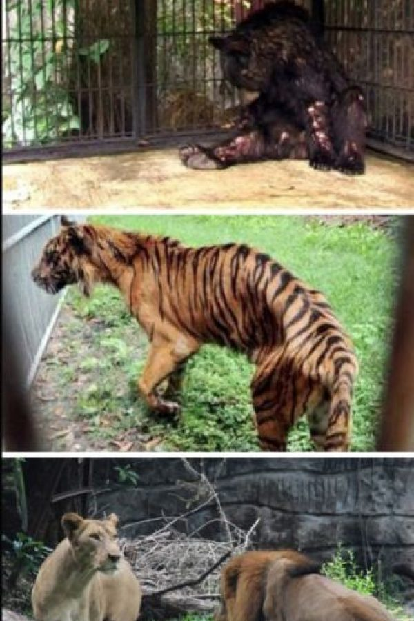 El peor zoológico del mundo: El zoológico de Surabaya, Indonesia. En enero se encontró a un león africano estrangulado en su jaula, ya que sufría de dolores estomacales. Pero este no fue el único caso: el año pasado, más de 40 animales murieron en el mismo zoológico. A una jirafa se le encontró plástico en su estómago y a un tigre, comida con formaldehído. La investigación en el zoológico reveló que muchos animales vivían en condiciones miserables, entre ellos un elefante que estaba encadenado y que tenía úlceras. Luego de la muerte del león, miles de peticiones han pedido el cierre del lugar. Foto:vía Oddee