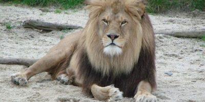 León africano Foto:Wikimedia