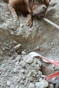 El mastín fue cubierto con piedras, cables y había sido amarrado a un saco de grava para evitar que se escapara. Gracias al olfato de la mascota de Dinis, el mastín pudo ser liberado. Foto:Vía Facebook