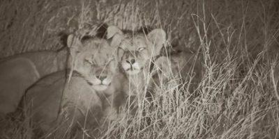 """Así sobreviven los cachorros del león """"Cecil"""", a un mes de la muerte de su padre"""