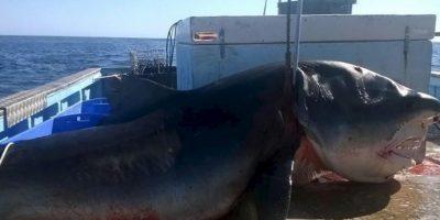 Este tiburón azul mide lo mismo que una van. Y fue cazado en aguas australianas, en la playa de Seven Mile. Medía más de seis metros. Foto:vía Facebook/Geoff Brooks