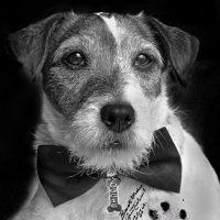 Incluso pidieron a los BAFTA para que consideraran una nominación para el perrito, comparado muchas veces con Rin Tin Tin, otro legendario can del cine. Foto:vía Facebook/Uggie The- Artist
